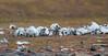 Walrus graveyard, Kapp Lee