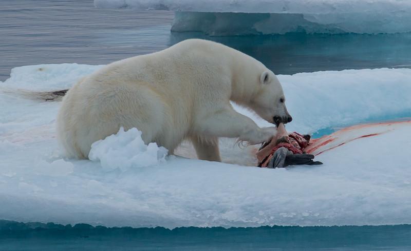 Polar Bear and kill