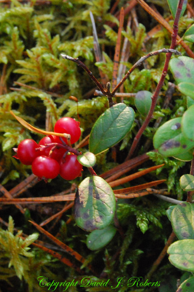 Lingon Berries, Sweden