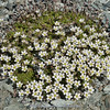 Minuartia rupestris