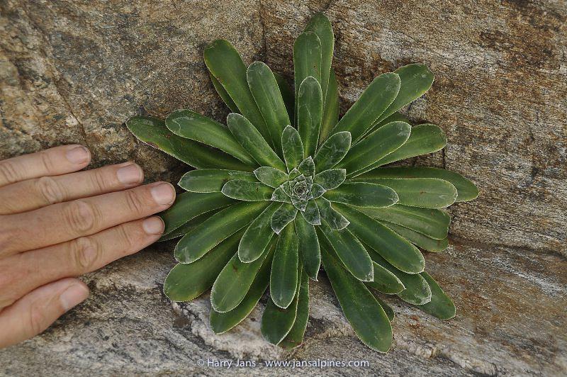 Saxifraga cotyledon