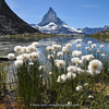 Eriophorum scheuchzeri & Matterhorn