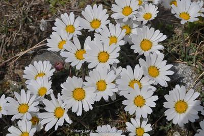 Chrysanthemum alpinum