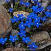 Gentiana bavarica ssp. imbricata