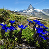 Gentiana orbicularis & Matterhorn