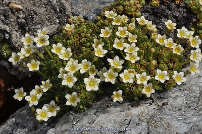 Saxifraga pubescens