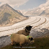 Aletsch glacier & Valaisian Black Nose Sheep