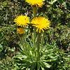 Hypochoeris uniflora