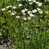 Androsace obtusifolia