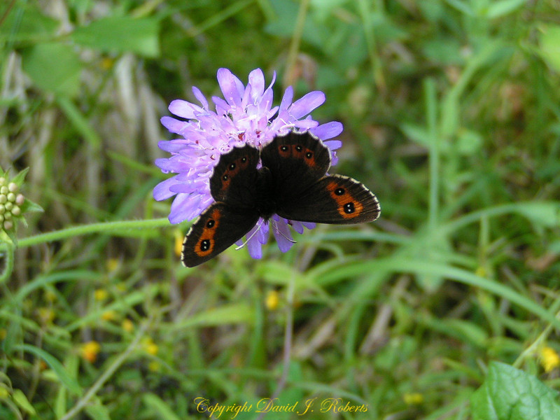 Flower with a butterfly, Volpera, Switzerland