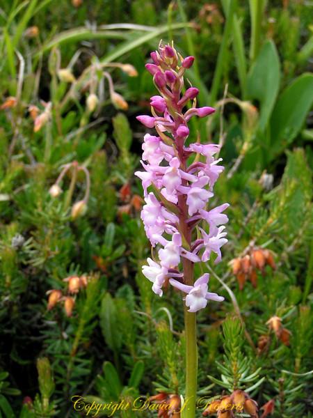 Pink wild orchids, Switzerland