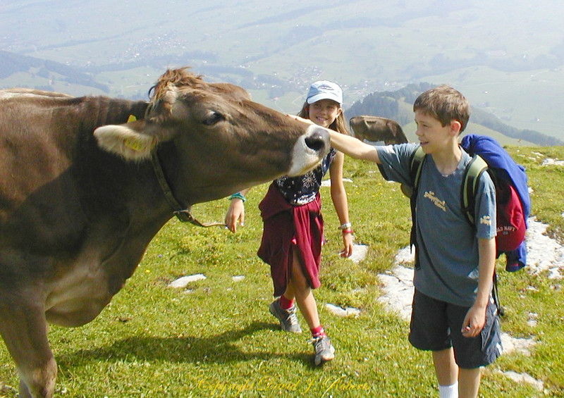 High mountain friendly Swiss cows, Appenzell,  Switzerland