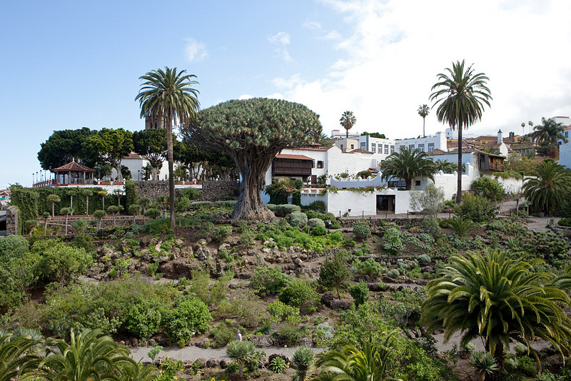 The 1000 year-old dragon tree in Icod de los Vinos, Tenerife.