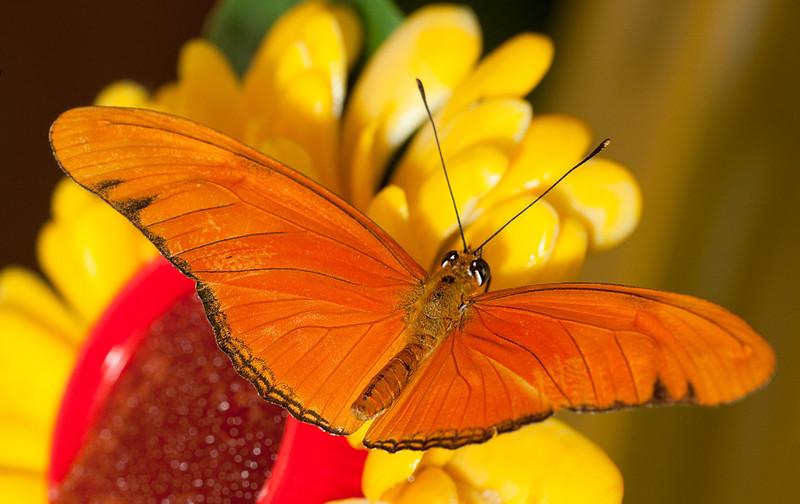 Butterfly - Mariposario del Drago/Icod de los Vinos/Tenerife