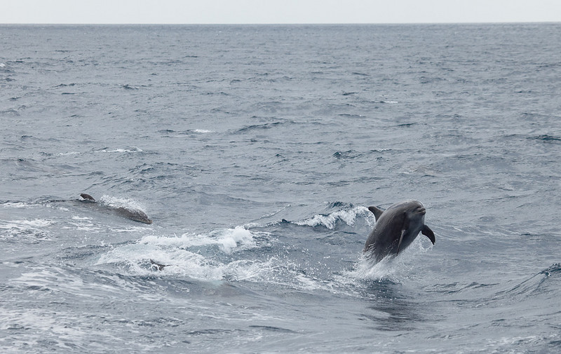 Jumping dolphins off the coast of Los Gigantes.