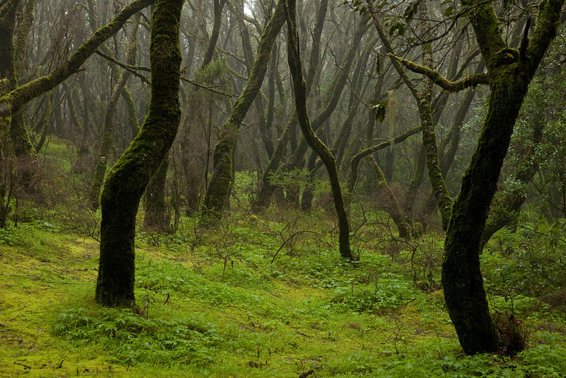 Cloud forest on the island of La Gomera.