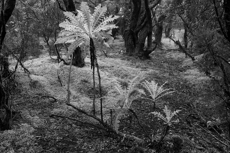 Giant Dandelion <i>(taraxacum)</i> plant in the cloud forrest, La Gomera.