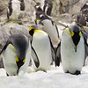 King penguins <i>(aptenodytes patagonicus)</i>, Loro Parque.
