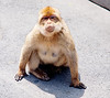 The Barbary macaque population in Gibraltar is the only one in the European continent and, unlike that of North Africa, it is thriving. At present, some 300 animals in five troops occupy the area of the Upper Rock Nature Reserve, though occasional forays into the town may result in damage to personal property.<br /> <br /> Despite being called apes, they are technically monkeys.