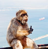 A popular belief holds that as long as Gibraltar Barbary macaques exist on Gibraltar, the territory will remain under British rule. In 1942 (during World War II), after the population dwindled to just a handful of individuals (just seven monkeys), British Prime Minister Sir Winston Churchill ordered their numbers be replenished immediately from forest fragments in both Morocco and Algeria because of this traditional belief.