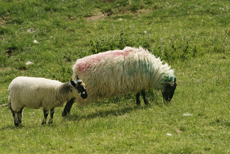 Two sheep, an ewe and her lamb, are grazing peacefully in a pasture on the Dingle Peninsula in Ireland. The sheep's wool is marked with colors to identify it from the rest of the flock.