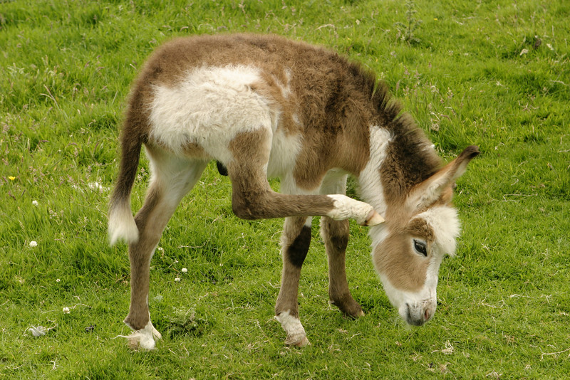 A baby donkey (often called a foal) scratching behind its ear in an Irish pasture. This young donkey was still nursing from its mother as it worked its way across the field.