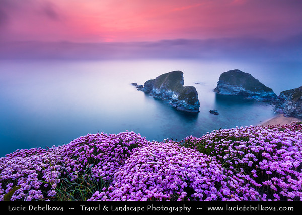 Europe - UK - England - Cornwall - North Cornish Coast - Newquay - Whipsiderry Beach at Porth with cliffs that rise out of the Atlantic Ocean with Sea Pink or Purple Sea Thrift Flower in bloom growing wild on Cornish coastal cliffs
