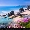 Europe - UK - England - Cornwall - Carnewas & Bedruthan Steps - Stretch of stunning coastline located on north Cornish coast between Padstow and Newquay with Sea Pink or Purple Sea Thrift Flower in bloom growing wild on Cornish coastal cliffs
