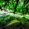 Europe - UK - England - Devon - Dartmoor National Park - Wistman's Wood - Magical forest with gnarled and mossy stunted oak trees and large granite boulders - One of only three remote high-altitude oakwoods at an altitude of 380–410 metres in valley of  West Dart River