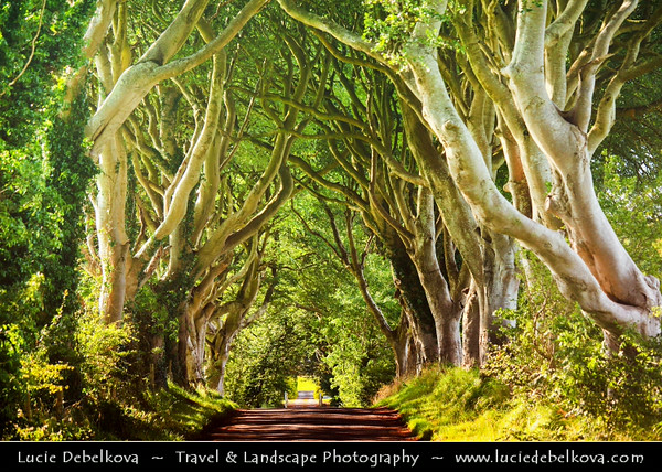 UK - Northern Ireland - Co. Antrim - Dark Hedges - Unique Avenue of old elm Beech Trees on Bregagh Road west of Armoy