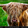 UK - Scotland - Inner Hebrides - Isle of Skye - Scottish Highland cattle - Kyloe - Cows famous for their long haired coats which help the hairy cows to cope with the harsh conditions of the Scottish Highlands