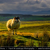 UK - Scotland - Inner Hebrides - Isle of Skye - Sheep at Quiraing - Landslip on the eastern face of Meall na Suiramach, the northernmost summit of the Trotternish Ridge - Some of the most stunning landscape areas in the world