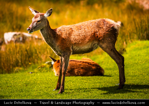 Europe - UK - United Kingdom - Scotland - Western Highlands - Young deer in area of Buachaille Etive Mòr - Pyramid mountain and Glencoe