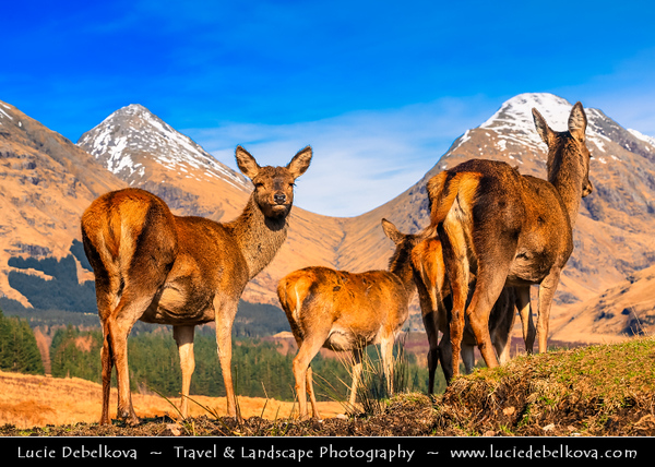 Europe - UK - United Kingdom - Scotland - Western Highlands - Glen Etive - Gleann Èite - Wandering Red Deer through wild scenic mountains