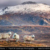 UK - Scotland - Highlands - Sutherland - Northern areas - Moine Thrust Belt - Foinaven - Classic glacier glen - valley with sheep at Stormy & Snow weather