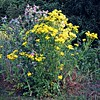 Common Ragwort and Spear Thistle