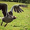 Greylag Goose Taking Flight