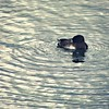Tufted Duck - female