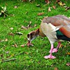 Egyptian Goose - male