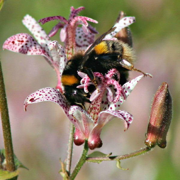 Buff-tailed Bumblebee Queen
