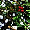 European Holly