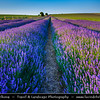 Europe - UK - United Kingdom - England - Somerset - Lavender fields - Rows of traditional English Lavender in bloom - Purple-blue blossoms