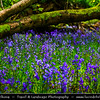 Europe - UK - United Kingdom - England - Somerset - Bristol area - Priors Wood - Natural reserve - Bluebell wood
