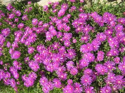 purple_flowers