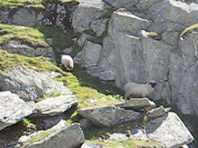 wild_goats