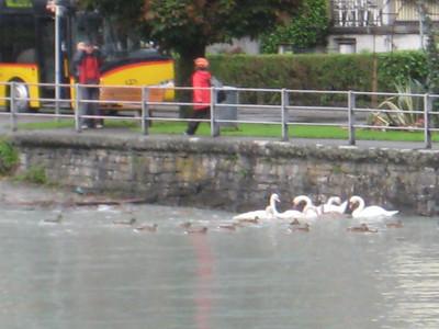 swans_3