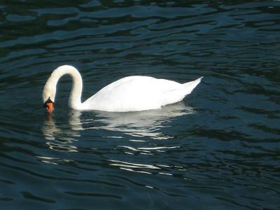 swan_2