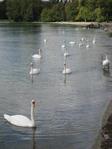 swans_2