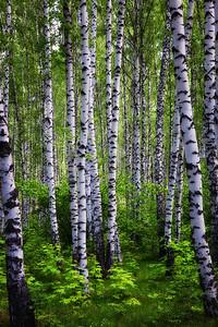 Aspen Forest near Penza, Russia