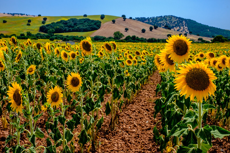 Andalucian Sunflowers